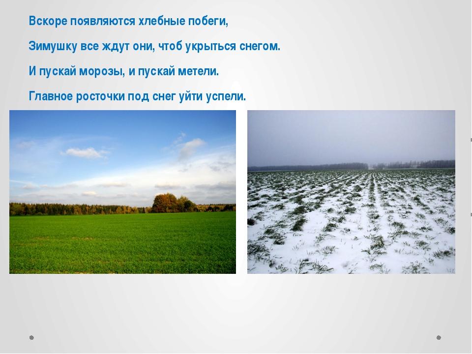 Вскоре появляются хлебные побеги, Зимушку все ждут они, чтоб укрыться снегом...