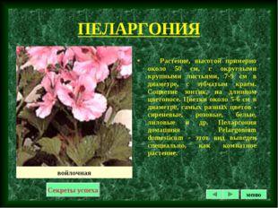 ПЕЛАРГОНИЯ Растение, высотой примерно около 50 см, с округлыми крупными листь