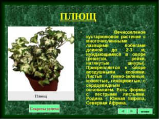 ПЛЮЩ Вечнозеленое кустарниковое растение с многочисленными лазящими побегами