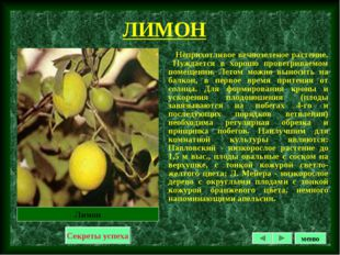 ЛИМОН Неприхотливое вечнозеленое растение. Нуждается в хорошо проветриваемом