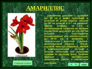 АМАРИЛЛИС Луковичное растение с огромной (до 20 см в диам.) луковицей, и розе