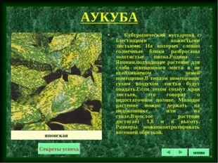 АУКУБА Субтропический кустарник с блестящими кожистыми листьями. На которых с