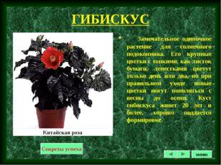ГИБИСКУС Замечательное одиночное растение для солнечного подоконника. Его кру
