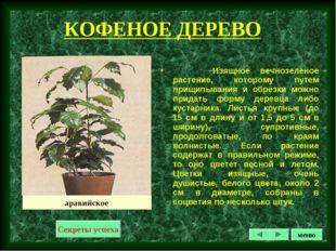 КОФЕНОЕ ДЕРЕВО Изящное вечнозеленое растение, которому путем прищипывания и о