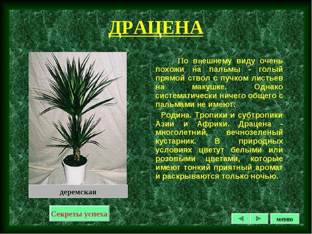 ДРАЦЕНА По внешнему виду очень похожи на пальмы - голый прямой ствол с пучком...