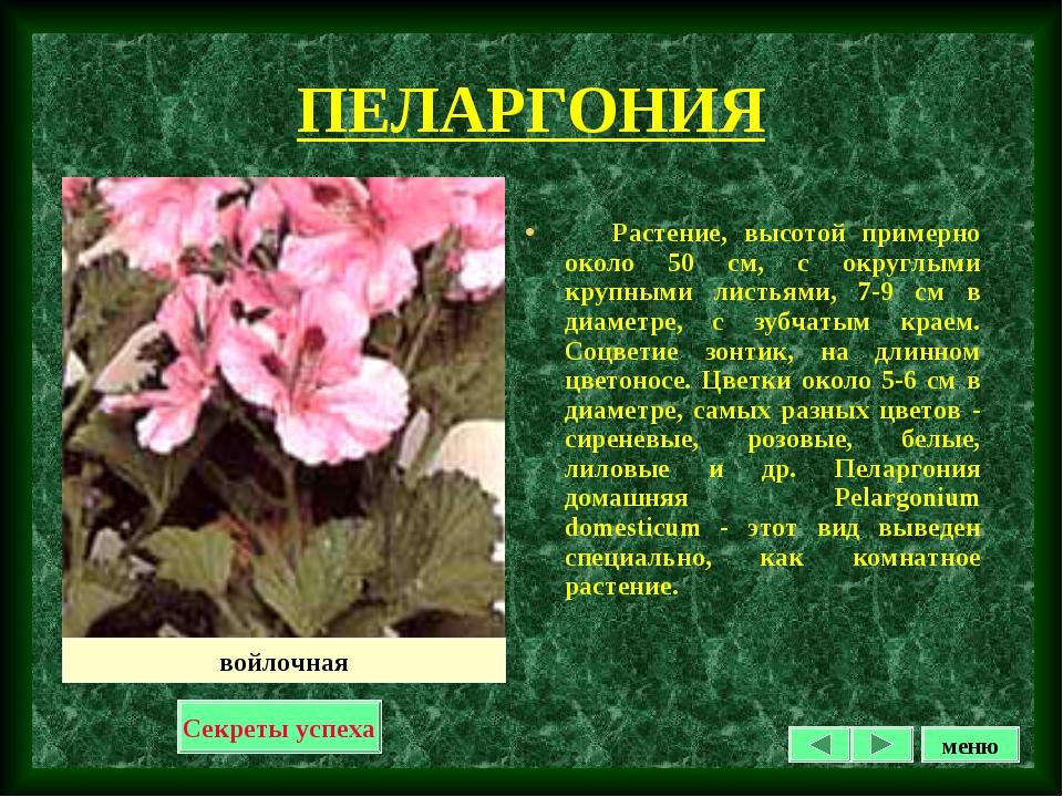 ПЕЛАРГОНИЯ Растение, высотой примерно около 50 см, с округлыми крупными листь...