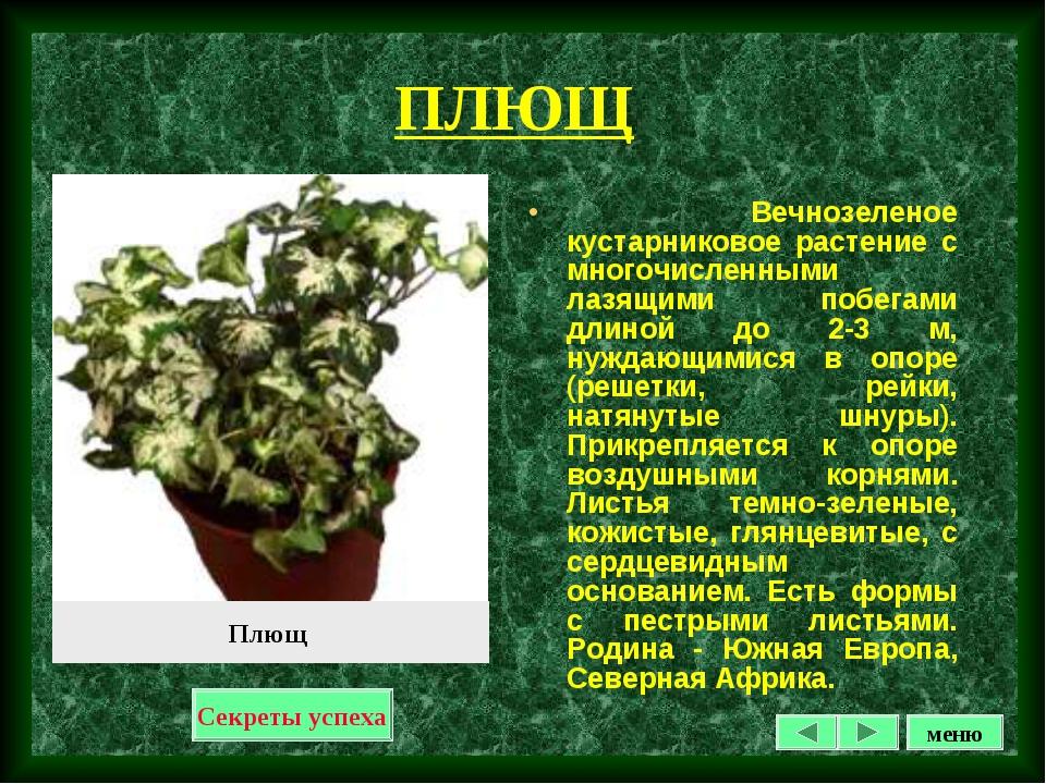 ПЛЮЩ Вечнозеленое кустарниковое растение с многочисленными лазящими побегами...