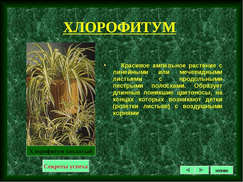 ХЛОРОФИТУМ Красивое ампельное растение с линейными или мечевидными листьями с...