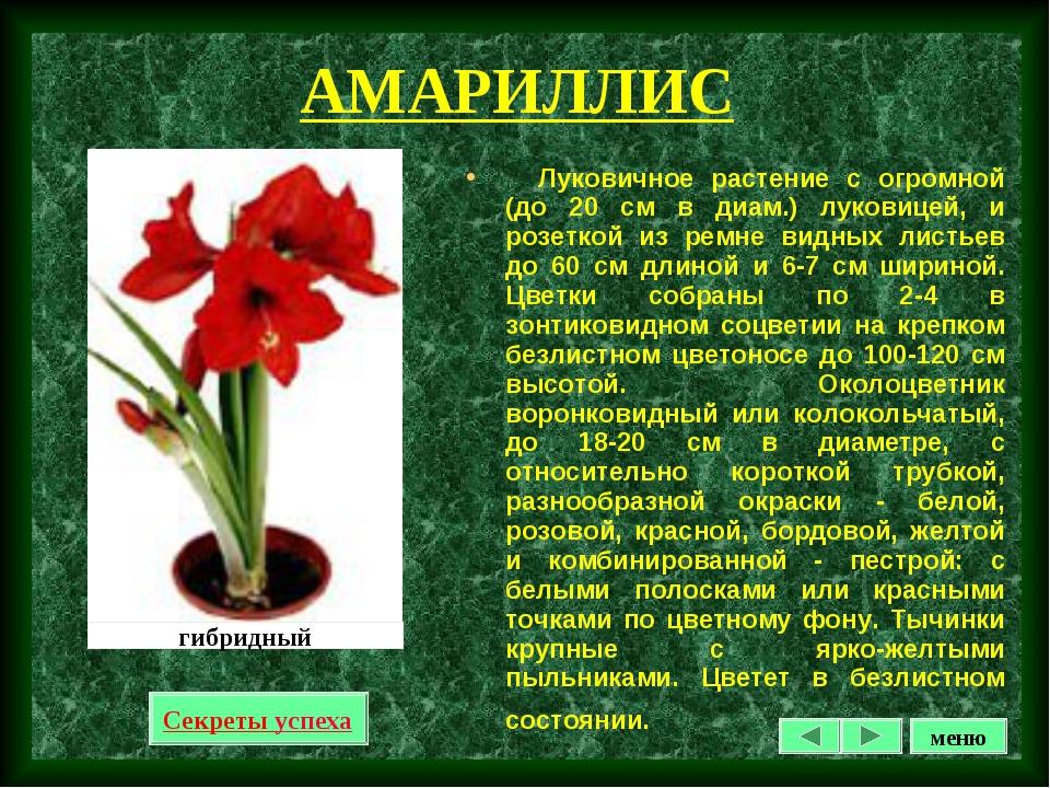 АМАРИЛЛИС Луковичное растение с огромной (до 20 см в диам.) луковицей, и розе...
