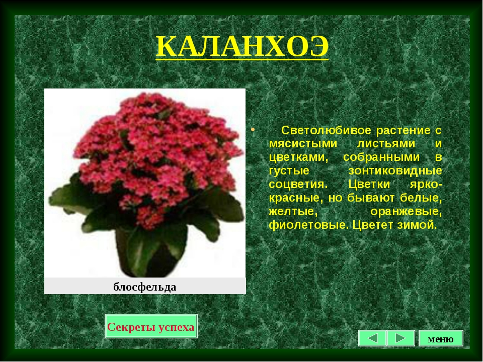 КАЛАНХОЭ Светолюбивое растение с мясистыми листьями и цветками, собранными в...