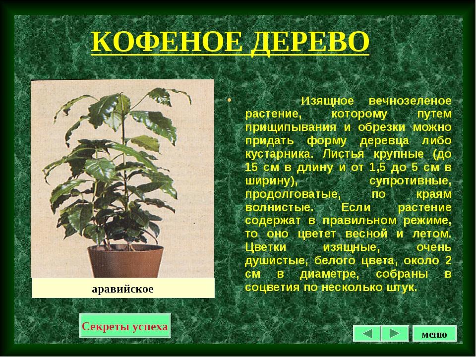 КОФЕНОЕ ДЕРЕВО Изящное вечнозеленое растение, которому путем прищипывания и о...
