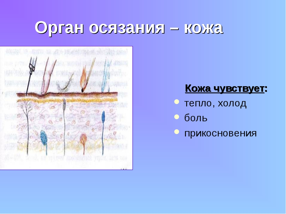 Орган осязания – кожа Кожа чувствует: тепло, холод боль прикосновения
