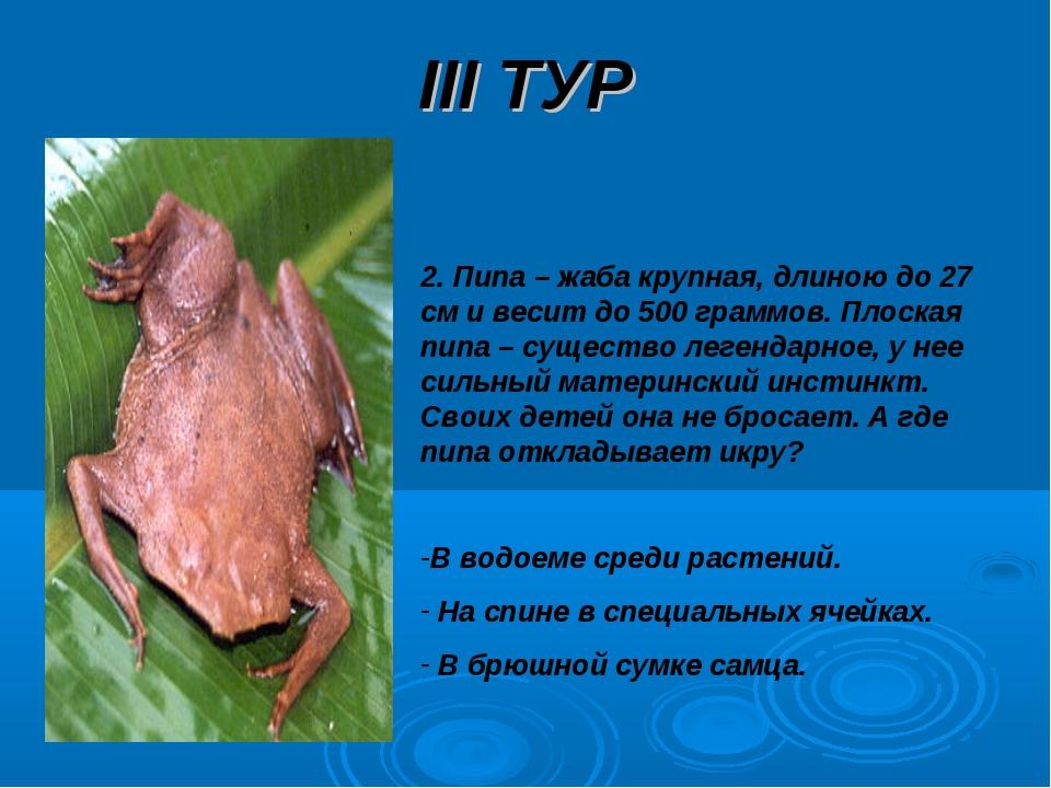 III ТУР 2. Пипа – жаба крупная, длиною до 27 см и весит до 500 граммов. Плоск...
