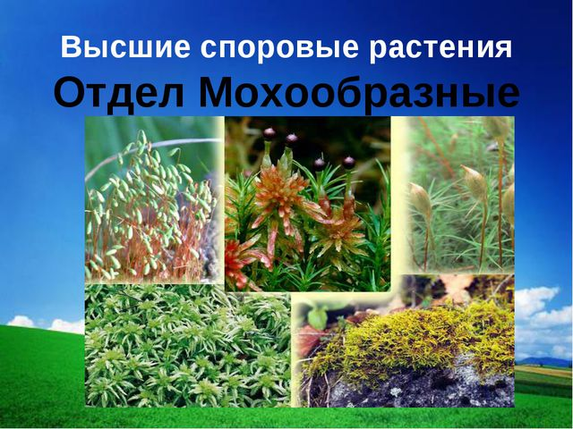 Высшие споровые растения Отдел Мохообразные