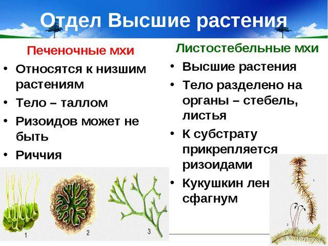 Отдел Высшие растения Печеночные мхи Относятся к низшим растениям Тело – талл...