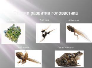 Стадии развития головастика Размножение и многообразие земноводных 1-6 дней 7