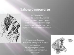 Забота о потомстве Размножение и многообразие земноводных Филломедуза Обитает