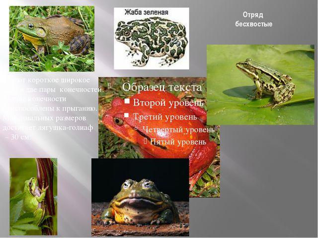 Отряд бесхвостые Размножение и многообразие земноводных Имеют короткое широко...