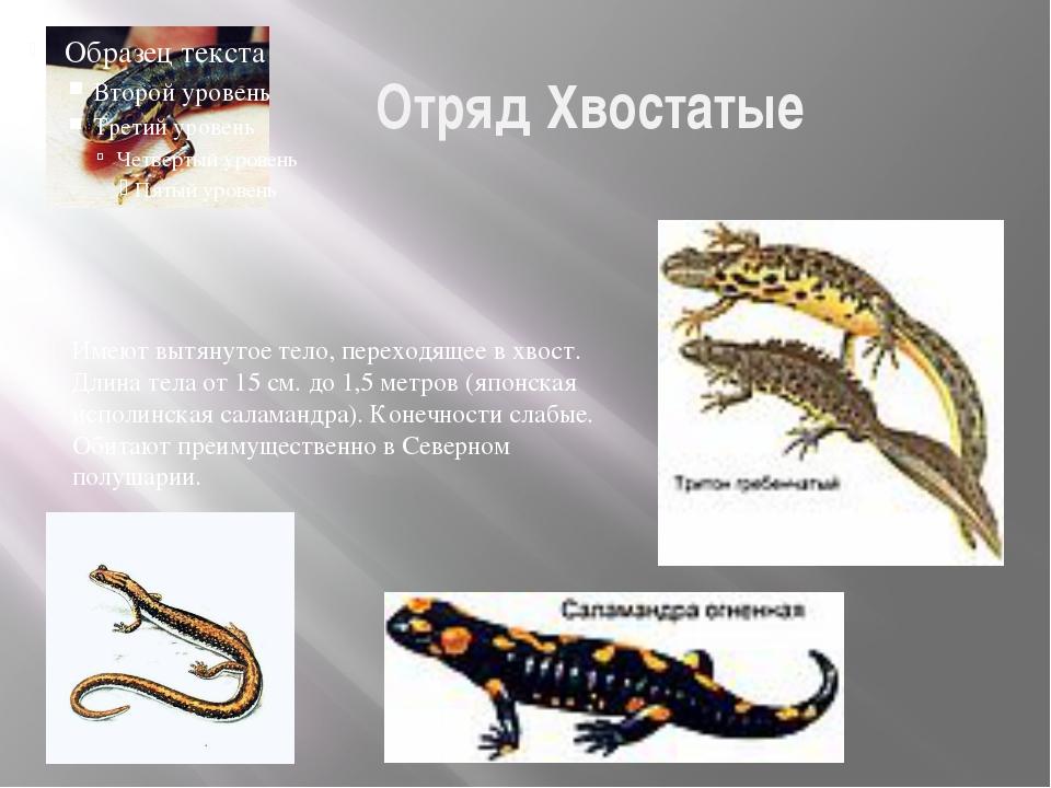 Отряд Хвостатые Размножение и многообразие земноводных Имеют вытянутое тело,...