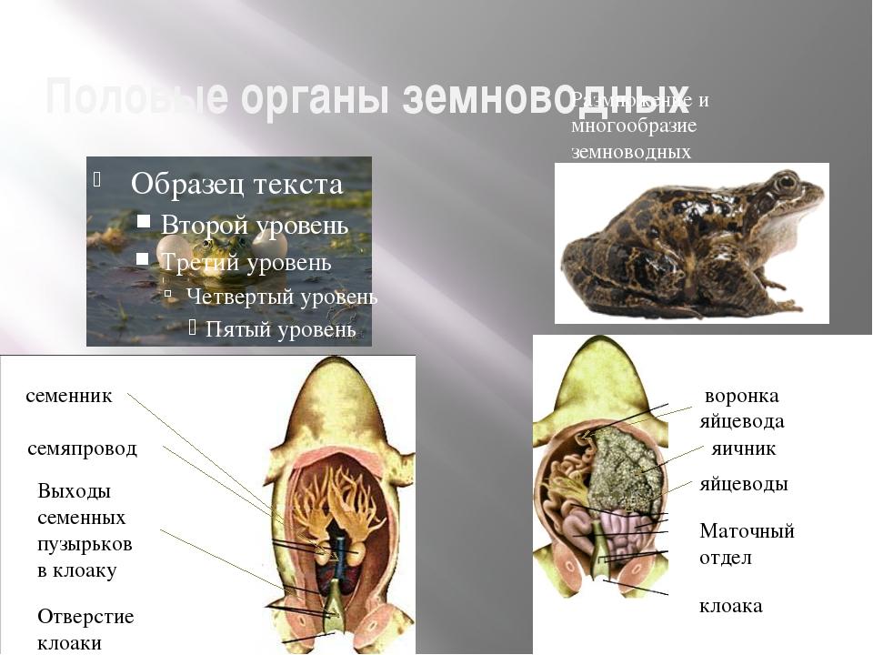 Половые органы земноводных Размножение и многообразие земноводных семенник се...