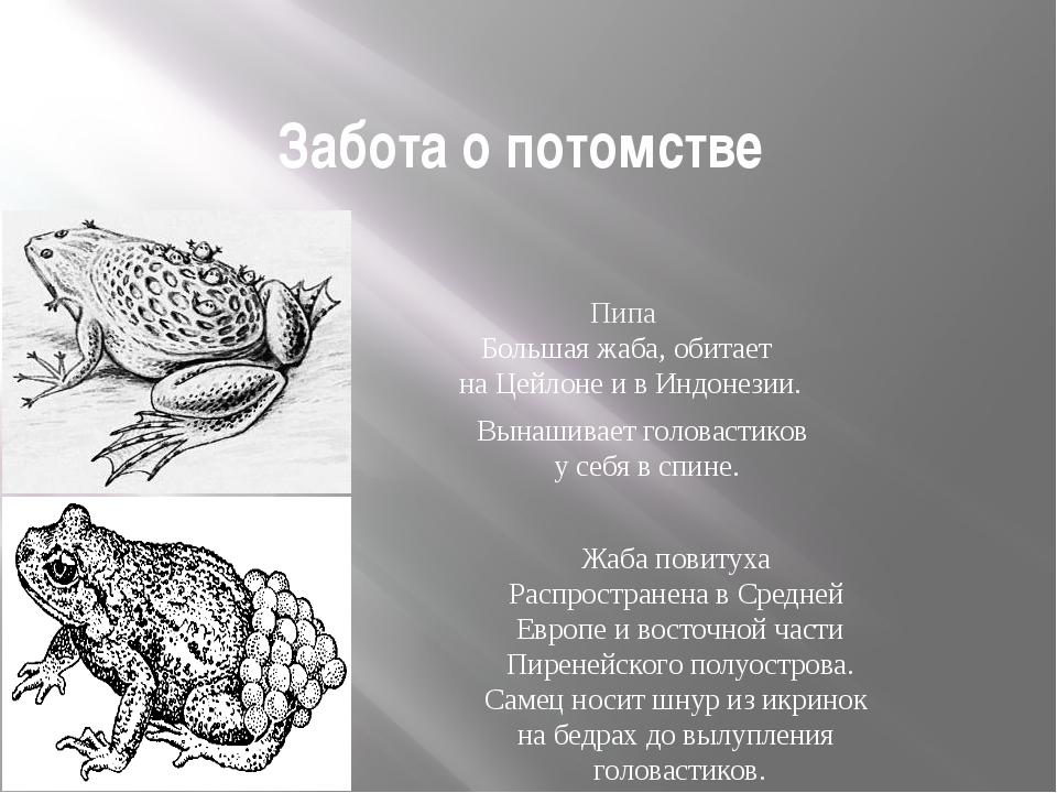 Забота о потомстве Размножение и многообразие земноводных Пипа Большая жаба,...