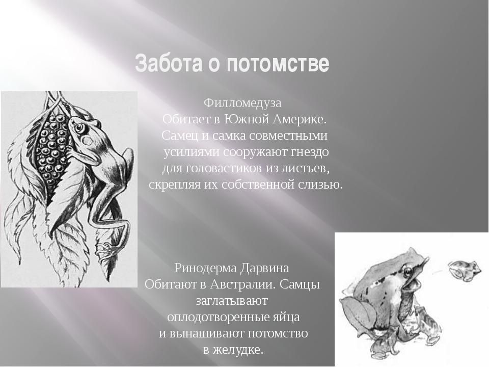 Забота о потомстве Размножение и многообразие земноводных Филломедуза Обитает...