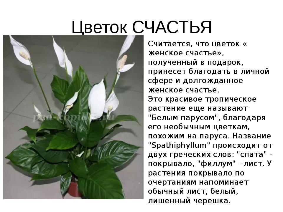 Цветок СЧАСТЬЯ Считается, что цветок « женское счастье», полученный в подарок...