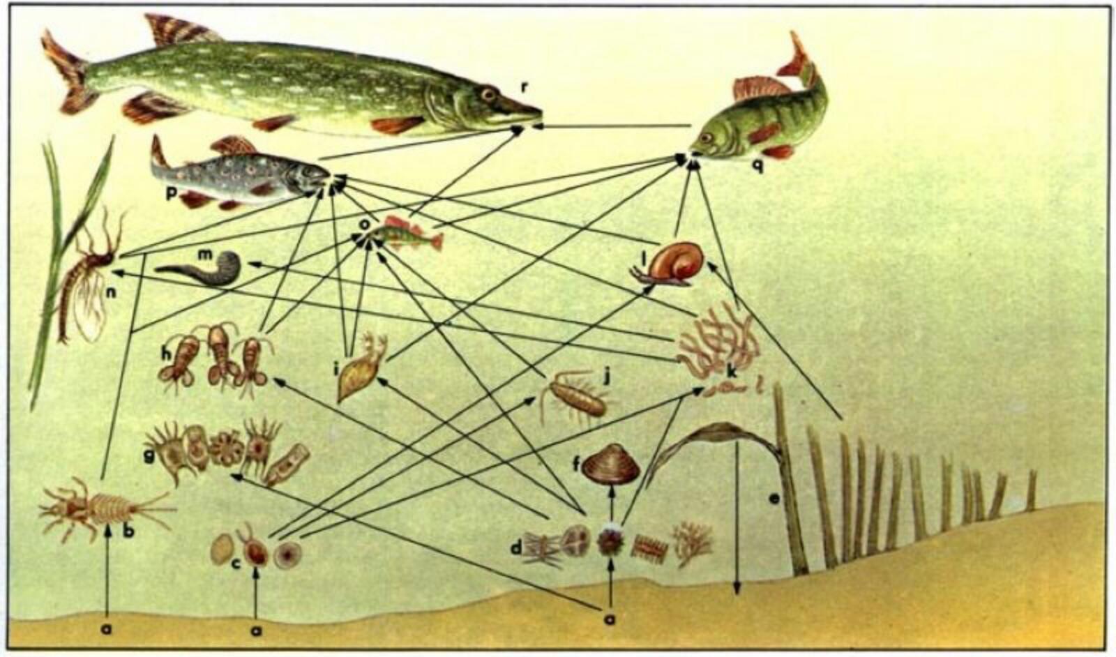Схема трофической структуры пруда