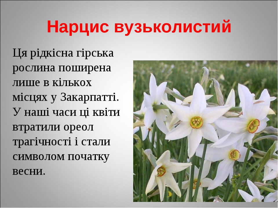 Нарцис вузьколистий Ця рідкісна гірська рослина поширена лише в кількох місця...