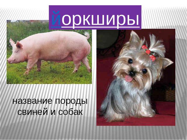 йоркширы название породы свиней и собак