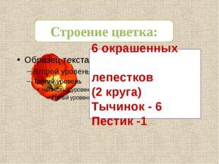 Строение цветка: 6 окрашенных лепестков (2 круга) Тычинок - 6 Пестик -1