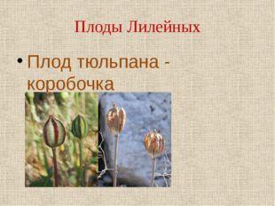 Плоды Лилейных Плод тюльпана - коробочка