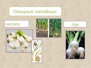 Овощные лилейные: лук чеснок