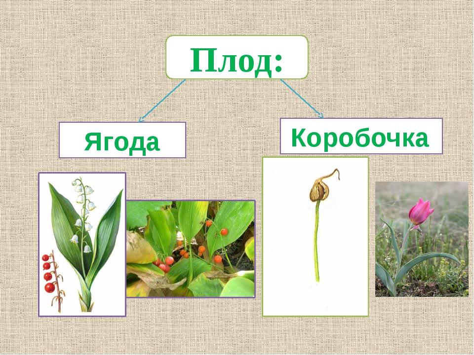 Плод: Ягода Коробочка