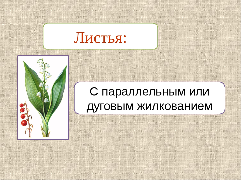 С параллельным или дуговым жилкованием Листья: