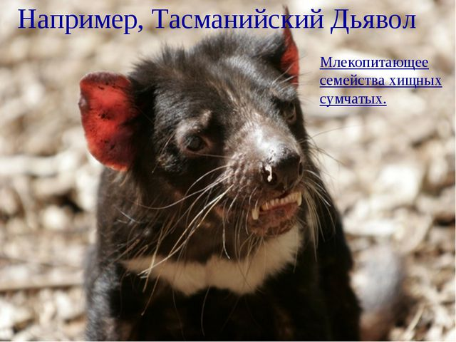 Например, Тасманийский Дьявол Млекопитающее семейства хищных сумчатых.