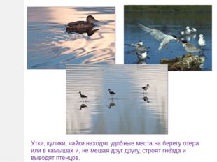 Утки, кулики, чайки находят удобные места на берегу озера или в камышах и, не