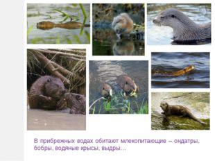 В прибрежных водах обитают млекопитающие – ондатры, бобры, водяные крысы, выд