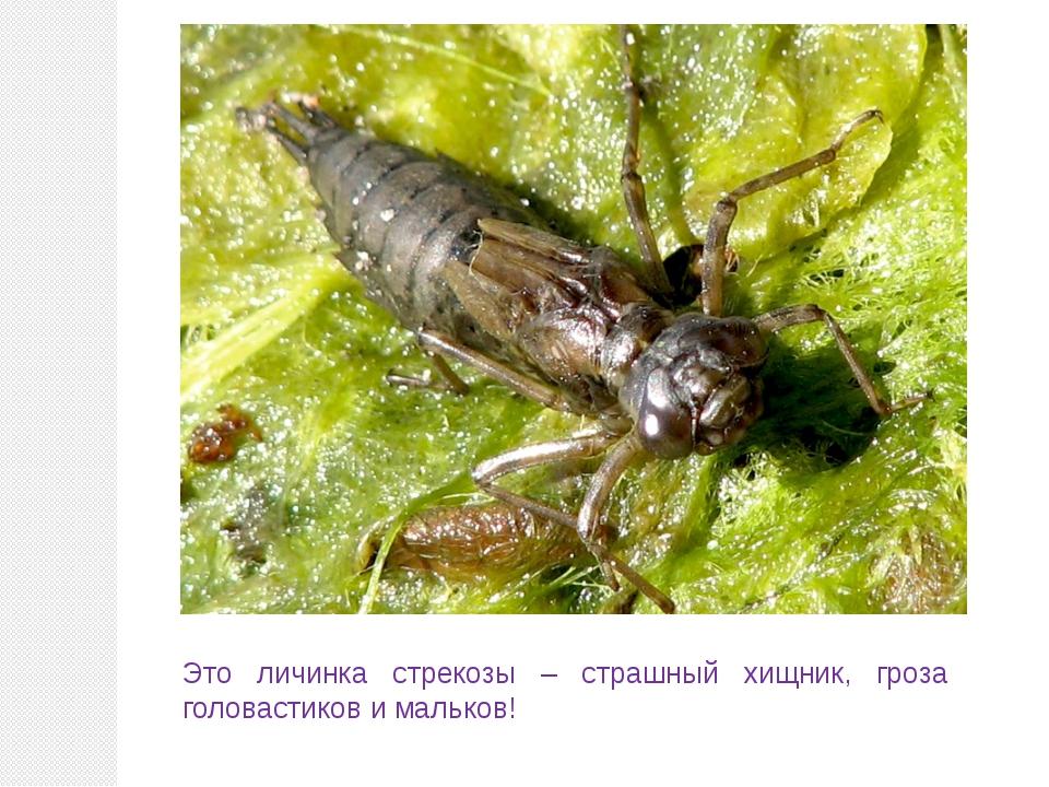 Это личинка стрекозы – страшный хищник, гроза головастиков и мальков!