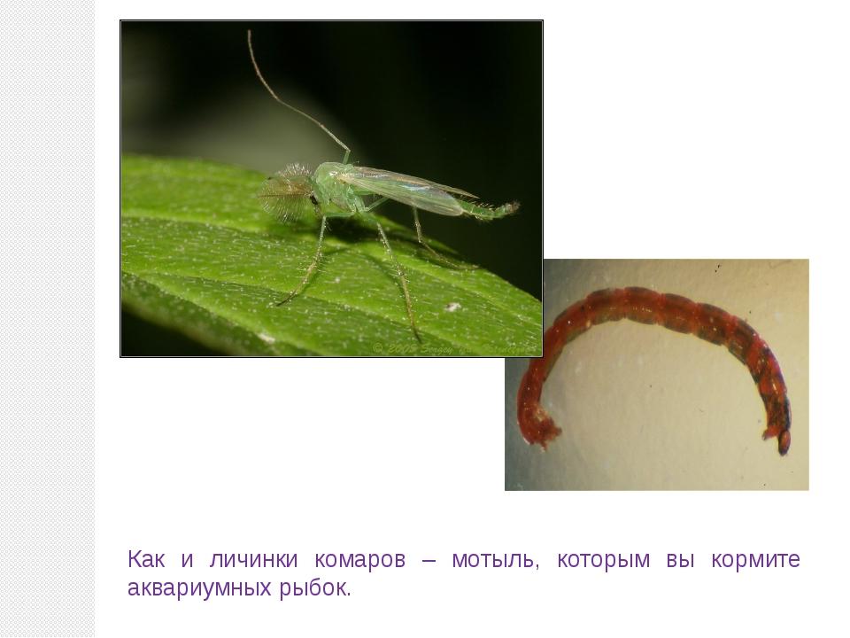 Как и личинки комаров – мотыль, которым вы кормите аквариумных рыбок.