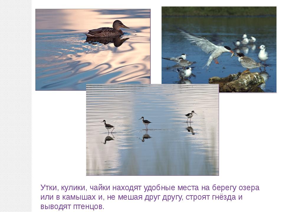 Утки, кулики, чайки находят удобные места на берегу озера или в камышах и, не...