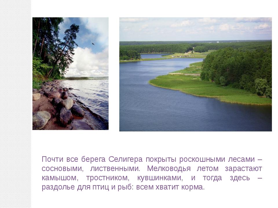 Почти все берега Селигера покрыты роскошными лесами – сосновыми, лиственными....