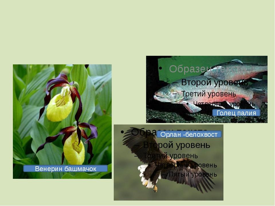 Голец палия Орлан -белохвост Венерин башмачок
