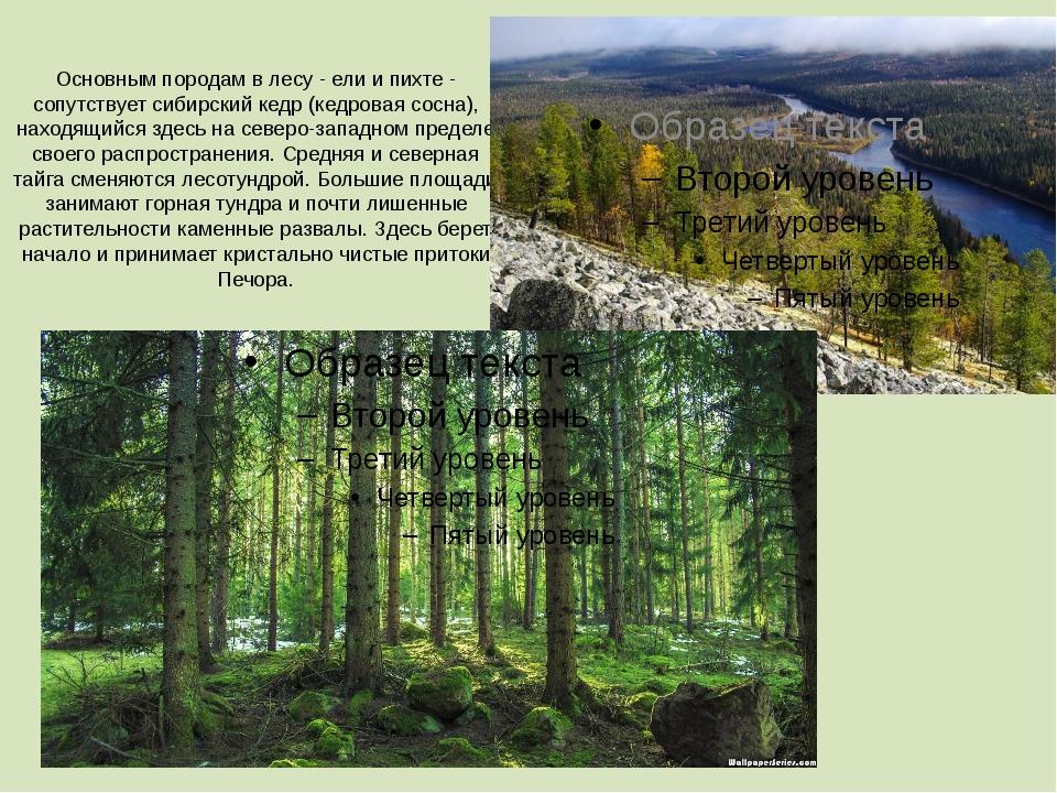 Основным породам в лесу - ели и пихте - сопутствует сибирский кедр (кедровая...
