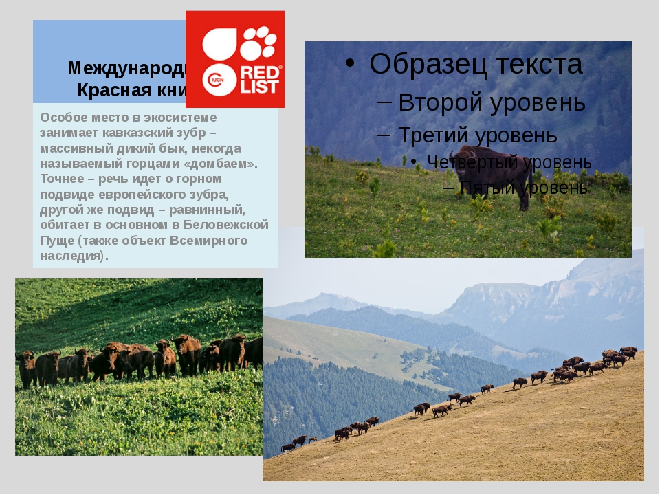 Международная Красная книга Особое место в экосистеме занимает кавказский зуб...