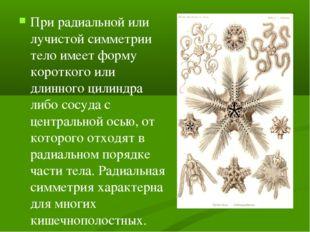 При радиальной или лучистой симметрии тело имеет форму короткого или длинного