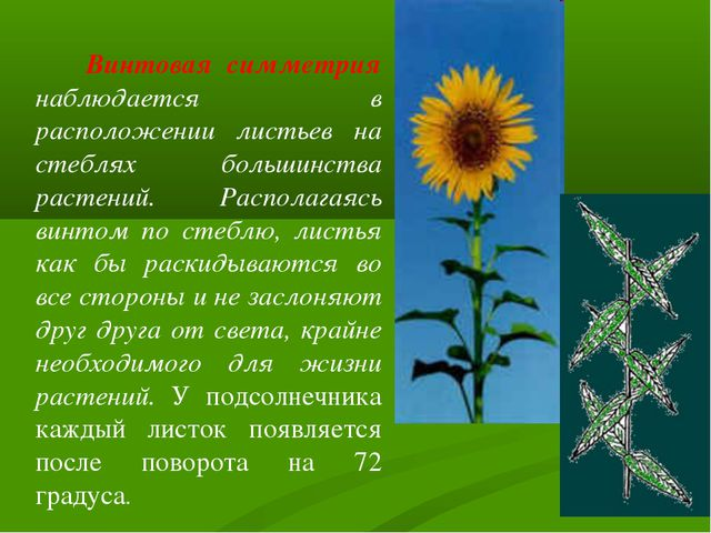 Винтовая симметрия наблюдается в расположении листьев на стеблях большинства...