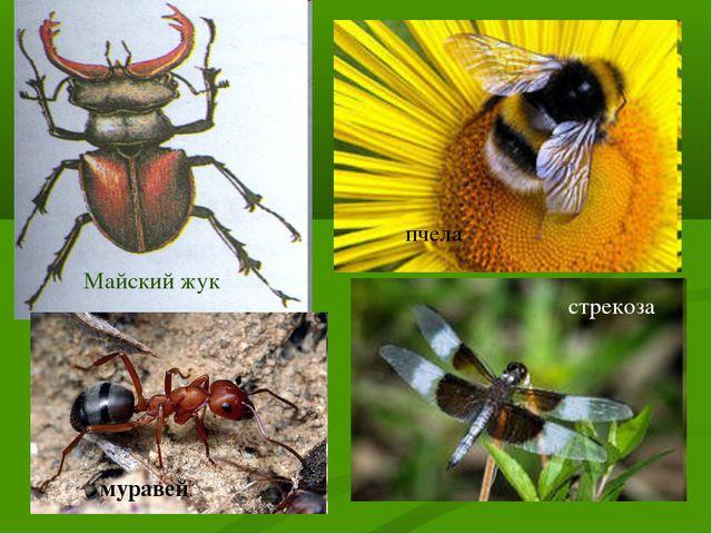Майский жук пчела стрекоза муравей