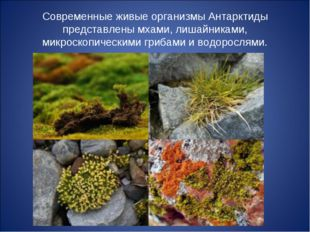 Современные живые организмы Антарктиды представлены мхами, лишайниками, микро