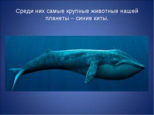 Среди них самые крупные животные нашей планеты – синие киты.
